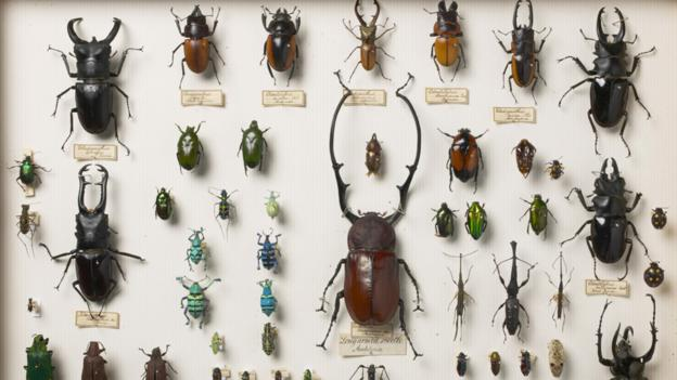 Beetles collected by the naturalist Alfred Russel Wallace (Science Photo Library)