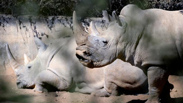 White rhinos at the Johannesburg Zoo (Credit: Stephane De Sakutin/AFP/Getty)
