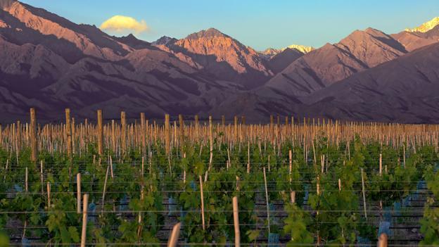 Shared vines (Credit: Michael Evans)