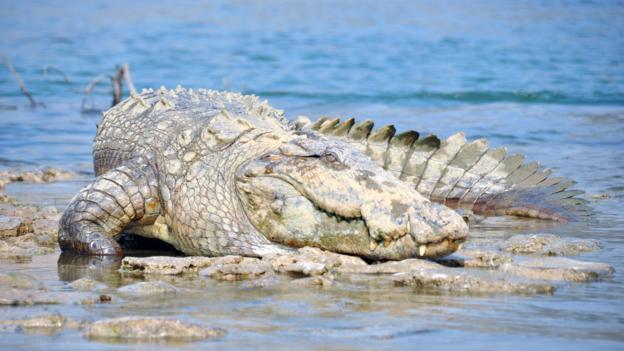 The marsh crocodile can flip a boat with its tail (Credit: Chambal Safari Lodge)