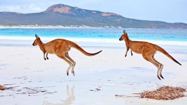 Red kangaroos bound across the beach in Western Australia (Credit: John W Banagan)