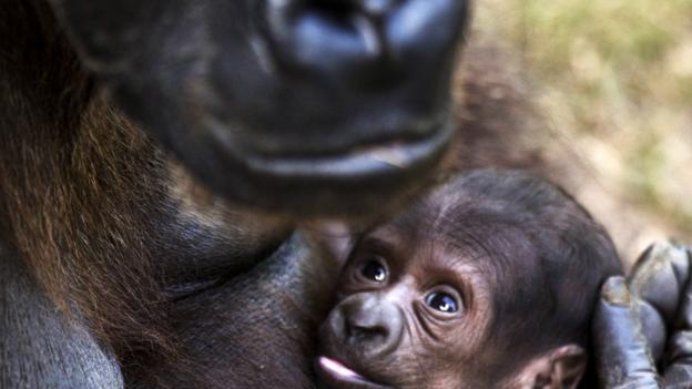 Gorilla love (Credit: Jack Guez/AFP/Getty)