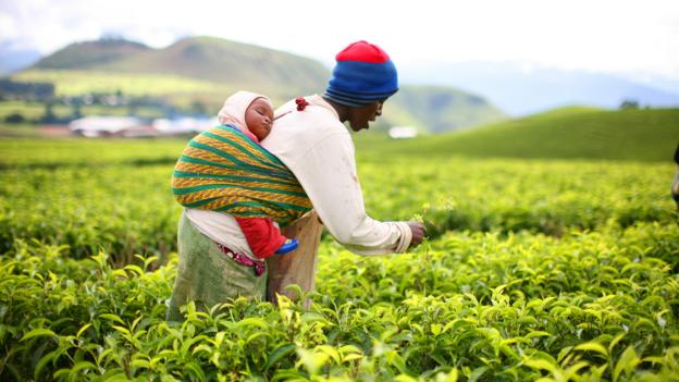 Ndawara Tea Plantation (Credit: Mike MacEacheran)