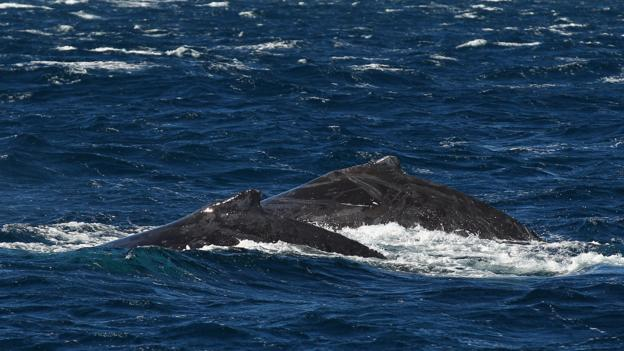 Humpback whale watching (Credit: Cameron Spencer/Getty)
