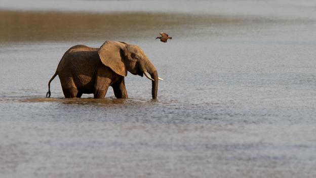 An elephant crosses Zambia's Luangwa River (Credit: Thomas Retterath/Getty)