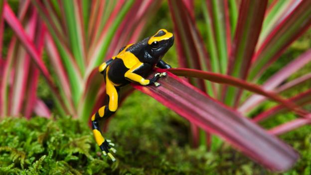 A bumblebee poison dart frog in Guyana (Credit: Kitchin and Hurst/Getty)