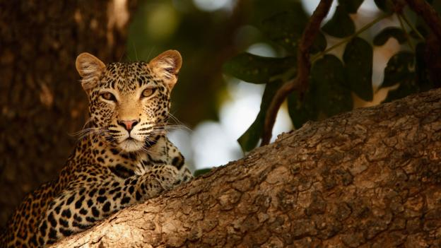 A leopard in South Luangwa National Park, Zambia (Credit: Russell Johnson/Getty)