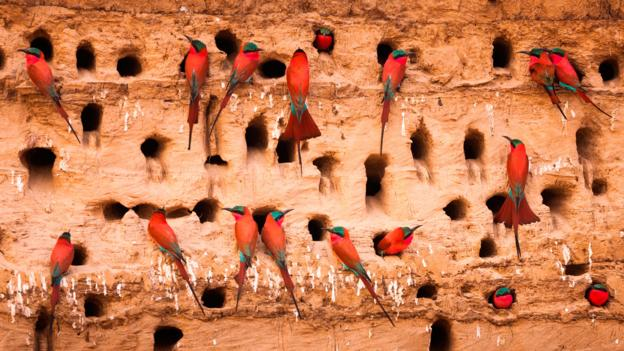 Southern carmine bee-eaters in South Luangwa National Park, Zambia (Credit: Mint Images/Art Wolfe/Getty)
