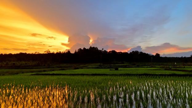 Rice paddies in Kodagu (Credit: Siddharth Goel)