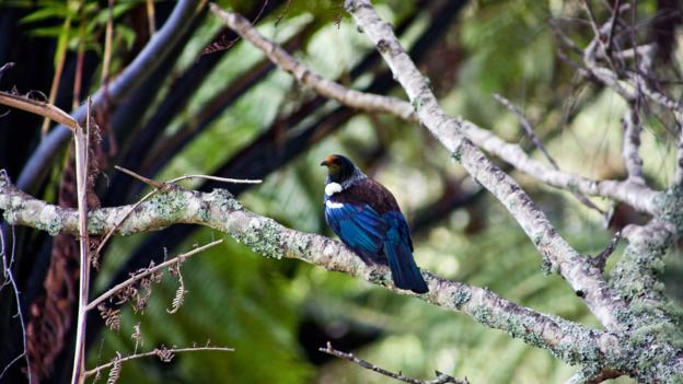The Tui bird, a New Zealand native (Credit: Kieran Nash)