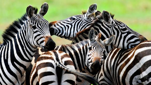 Serengeti stripes (Credit: Tony Karumba/AFP/Getty)
