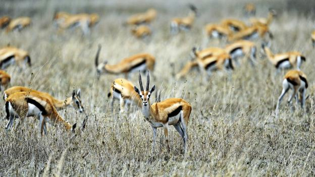 Grazing gazelles (Credit: Tony Karumba/AFP/Getty)