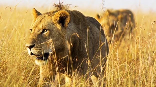 Stalking prey (Credit: WLDavies/Getty)