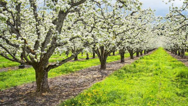 An Oregon orchard (Credit: Bryan Mullennix/Getty)