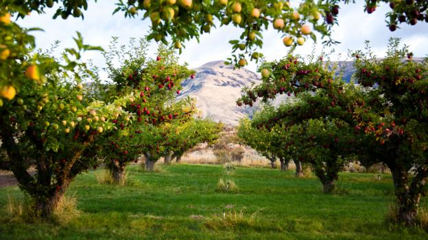 Harmony Orchards, source of Tieton Cider Works' apples (Credit: Michael Hanson Photography)