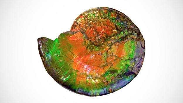 Technicolor ammonite (Credit: Canada Fossils/Korite International)