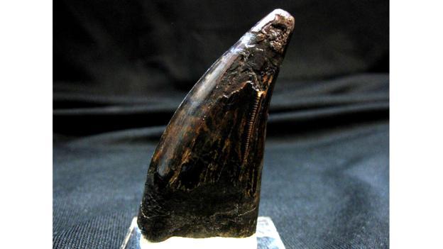 Dangerous predator (Credit: Indiana9 Fossils)