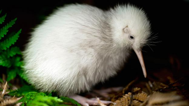 New Zealand's rare white kiwi (Credit: Mike Heydon/Jet Productions NZ Limited/Getty)
