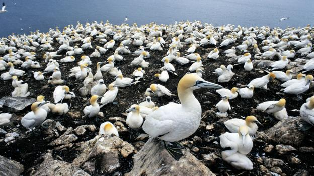 North Island's native gannet birds (Credit: Ian Cartwright/Getty)