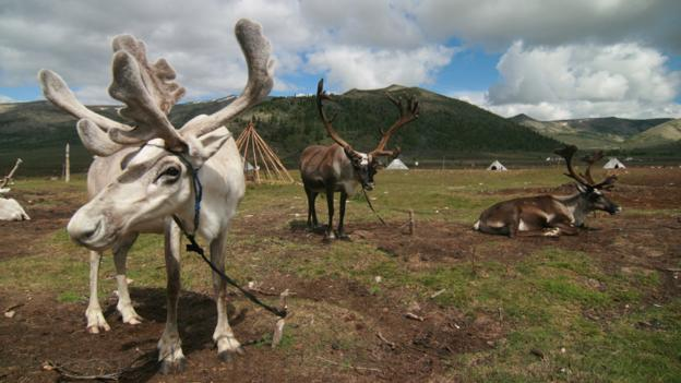 Tethered reindeer with two dominant bull males (Credit: Anna Kaminski)