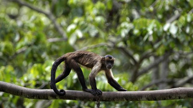 The endangered brown capuchin monkey (Credit: Mauricio Lima/AFP/Getty)