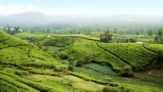 Tea plantation near Nurawa Eliya (Credit: Aleksandra Yakovleva/Getty)