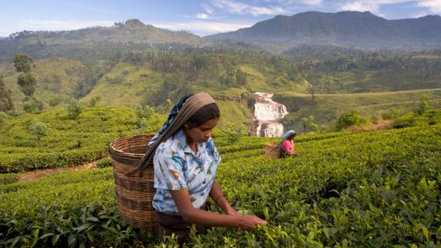Tea pickers in Nuwara Eliya (Credit: Gavin Hellier/Getty)