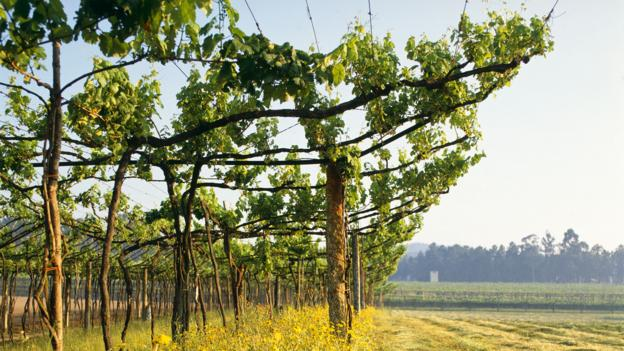 Vinho verde vines (Credit: Paul Thompson/Getty)