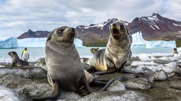 South Georgia seal pups (Credit: Michael Nolan/Getty)
