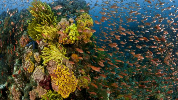 BBC - Earth - The corals that come back from the dead