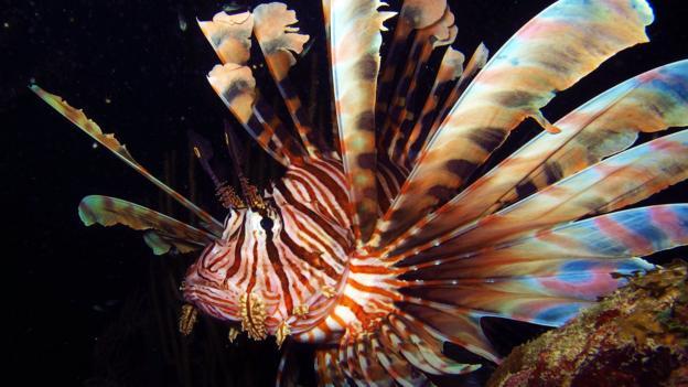 Lionfish (Credit: Brad Ryon)