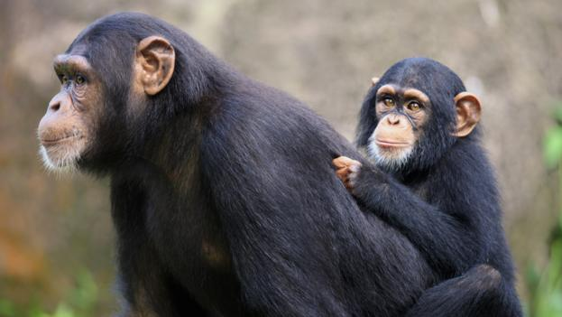 Chimpanzee parents help their offspring learn much like we do (Credit: FLPA / Alamy)