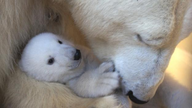 BBC - Earth - One zoo's attempt to grow polar bears
