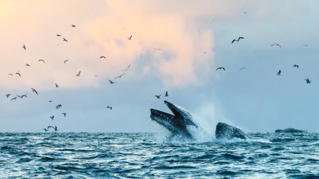 BBC - Earth - Humpback herring feast