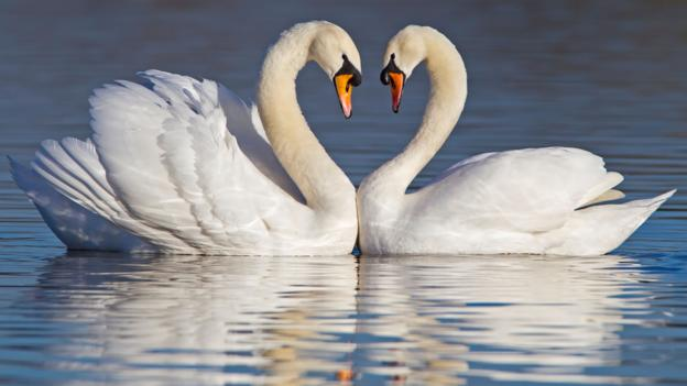 Swans Real Love