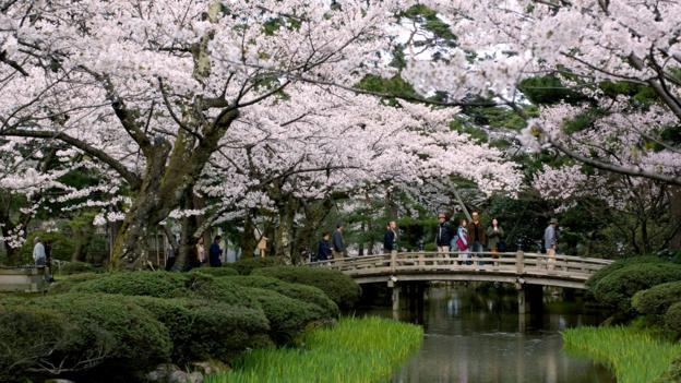 Kenroku-en garden, cherry blossoms, Kanazawa, Japan (Credit: Credit: Kanazawa Tourism)
