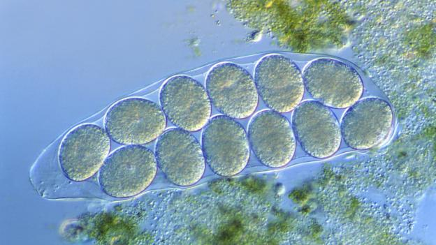 Tardigrade  extremophile with superpowers P02lv2bj