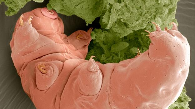 Tardigrade  extremophile with superpowers P02lv3f4
