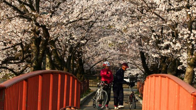 Osaka's cherry blossoms in full bloom (Credit: Credit: Buddhika Weerasinghe/Getty)