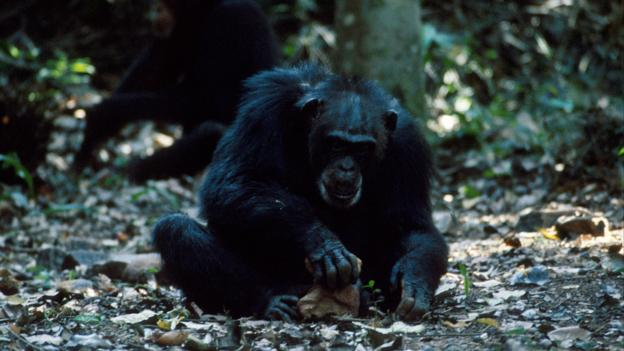 Chimpanzees have been using stone tools for millennia (Credit: Bernard Walton/NPL)