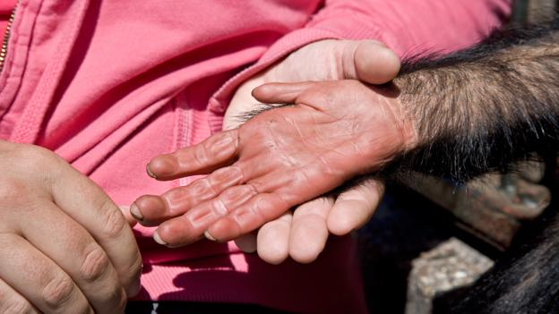 Human hands have changed less than chimps' (Credit: Doug Allan/NPL)