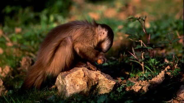 South American capuchin monkeys have learned to use stone tools (Credit: Dave Watts/NPL)