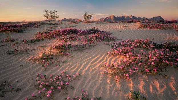Sand verbena and Creosote bushes, Sonoran desert (credit: Jack Dykinga / NPL).