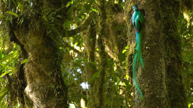 Resplendent quetzal, cloud forest El Triunfo (credit: Patricio Robles Gil / NPL).