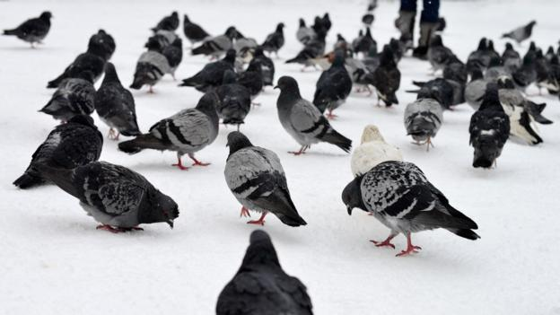 Pigeons pigeons everywhere and not a baby in sight (Credit: Free Casters/CC by 2.0)