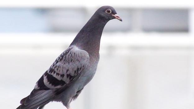 Juvenile pigeon lacking green and purple around neck (Credit: Ingrid Taylar/CC by 2.0)
