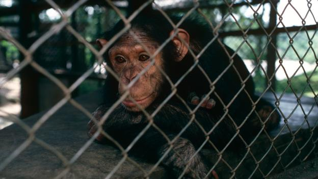 Chimpanzees held in captivity show signs of stress (Credit: Jabruson/NPL)