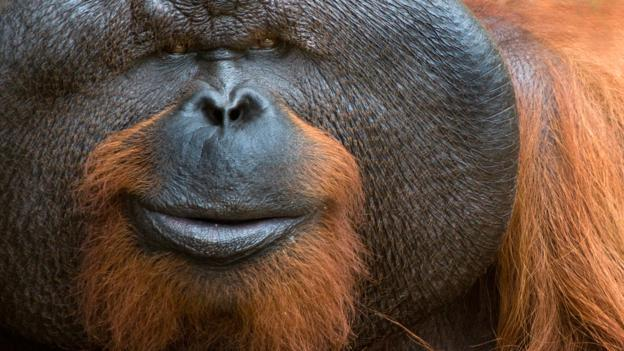 We don't know what's going on in this orangutan's mind (Credit: Edwin Giesbers/NPL)