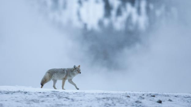 Coyotes (Canis latrans) lead tough lives in the wild (Credit: Peter Cairns/NPL)