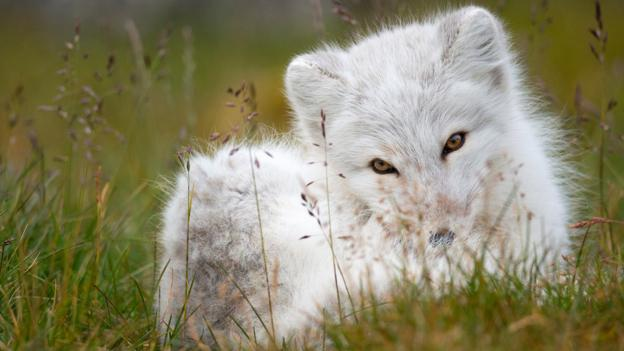 BBC - Earth - The furriest animal in the world